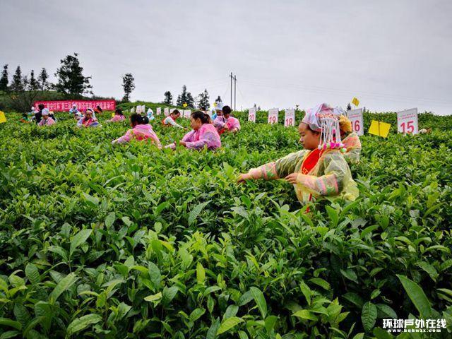 """""""普安红""""杯采茶制茶大赛80选手角逐""""茶王"""""""
