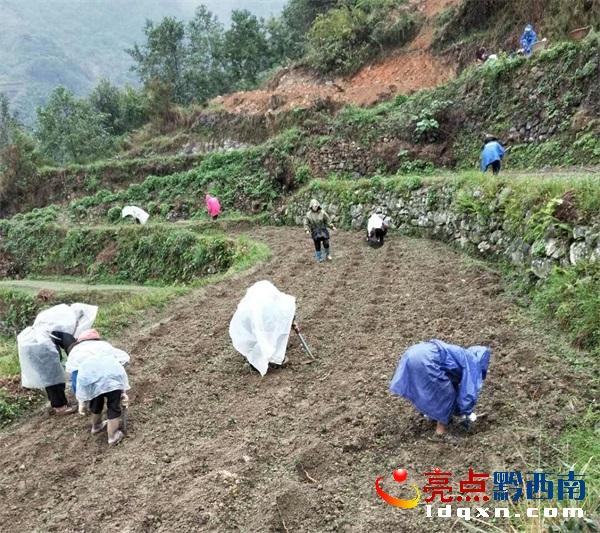 望谟县郊纳镇冒雨抢种古茶树 目前已经种植2200余亩