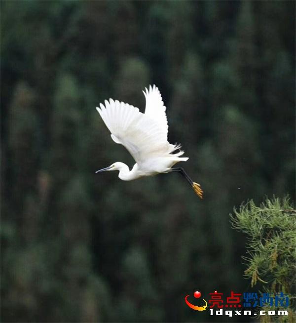 兴义海子坝飞来很多白鹭(图)