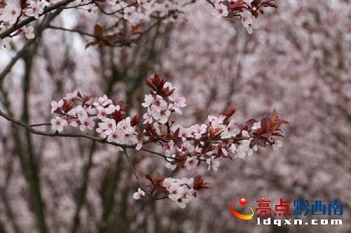 """春色烂漫何处去 贵州醇景区红叶李盛开似""""雪景"""""""