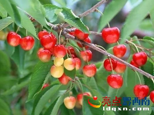 安龙洒雨:火红樱桃挂满枝头 助农增收60余万元