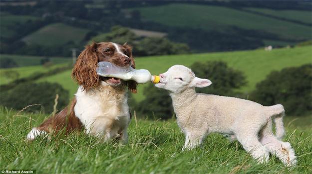 """牧羊犬成羔羊""""奶妈"""" 风雨无阻供应一日三餐[组图]"""
