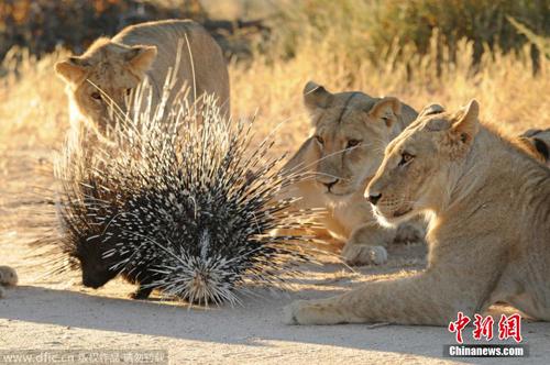 南非沙漠现豪猪大战狮群 遭七头雄狮围捕