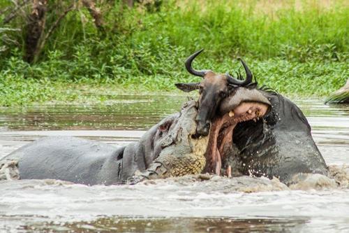 非洲河马为救牛羚与鳄鱼勇敢搏斗