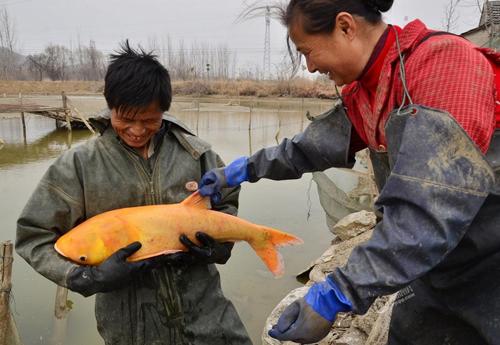 安徽一男子捕获罕见金红色鳙鱼
