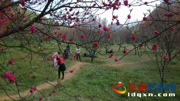 兴义市贵州醇酒厂奇香楼景区,鲜花怒放.图为游客赏花.