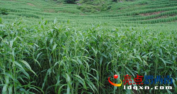 """近年来,紫马乡党委,政府结合实际,因地制宜,按照县里""""特色农业强县""""的战略思路,发展起了茶叶、烤烟、薏仁米、魔芋等特色农业种植。并不断大力推广农业实用技术,提高农业科技种植技术,引导鼓励种植户连片种植、规范种植。"""