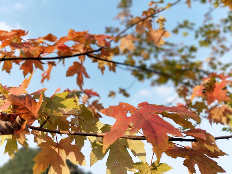 """一片红叶一场约定 到贵州醇风景区赏""""风""""情万种"""