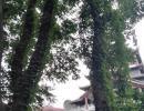 """兴义穿云洞惊现一片""""藤缠树""""景观 游玩时留意看看非常养眼"""