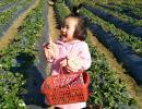 兴义万峰林草莓成熟了 个大俏市每斤高达4O元(图)