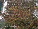 """兴义幸福花园广场有棵""""奇特榕""""  挂了密密麻麻的果子"""
