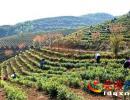 黔仁茶基地:3500亩白茶嫩芽勃发 助农增收奔小康