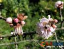 贵州醇风景区:腊梅花开 香飘满园(图)