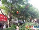 兴义市园林中心修剪行道树枝 消除安全隐患(图)