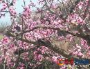 兴义市乌沙镇佳克革居万亩桃花笑春风