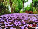 兴义正在悄然绽放美丽的蓝花楹花 花期仅20天快去观赏