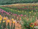 兴义市白碗窑百合种源基地的百合花遍地芬芳