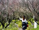 阳光正好!贵州醇风景区梅花竞相绽放