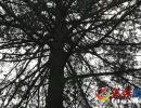 兴义戈多发现一棵撑天嗑松 树高超过25米生长近百年(图)