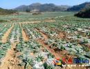 兴义白碗窑镇发展种植松花菜 搭起贫困户就地务工创收桥梁