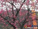兴义幸福花园冬樱花迎冬绽放